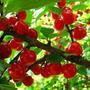 Ищу фотографии вишни сорта Брусницына, но в интернете фото разные. Как понять, где настоящая?