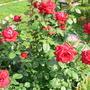Когда обрезать почерневшие после зимы  стволы роз?
