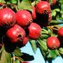 Боярышник крупноплодный – как жених в саду