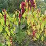 Амаранты в осеннем саду